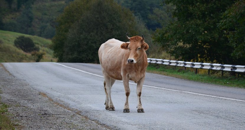 A Cow Runs Out Onto the Road